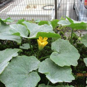 本日は、カボチャの収穫祭です。            兵庫県姫路市大津区勘兵衛町介護付き有料老人ホームさわやかひめじ館