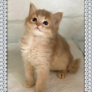ソマリ子猫