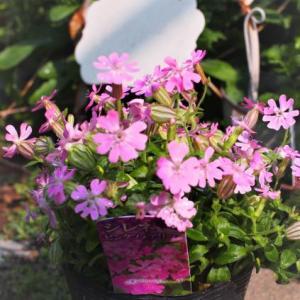 スーパーで買った花と今日の庭から