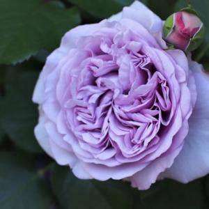 今季最初に咲いた薔薇と白万重