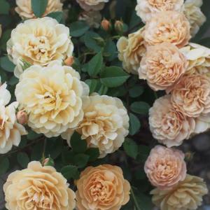 ミニ薔薇開花とターンブルーとバーバスカム・サザンチャーム