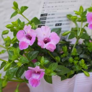 ポチした花苗と開花の薔薇など