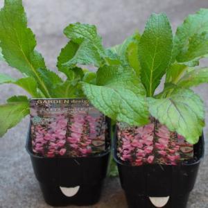 購入苗と球根&今日庭のオステオスペルマム