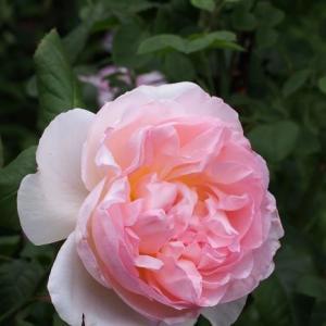 薔薇 シャリファ・アスマとオステオスペルマム