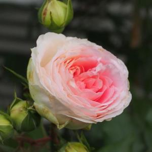 植え過ぎの小庭と薔薇・アミロマンティカとターンブルー