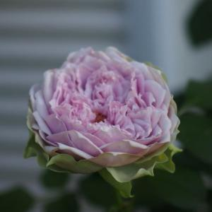 暑さの中で、咲いてくれた薔薇