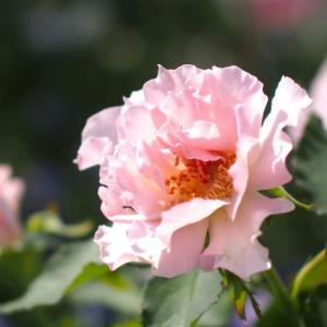薔薇とコスモス