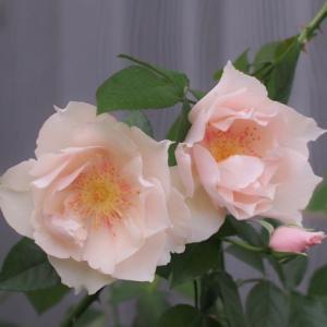 薔薇の進み具合