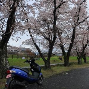 桜5部咲き石舞台 そして向うに生駒山