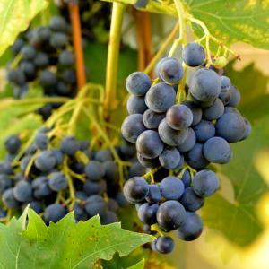 葡萄が食べごろになりました~~: )