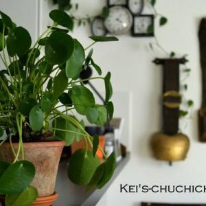 癒し系観葉植物ピレア ペペロミオイデス