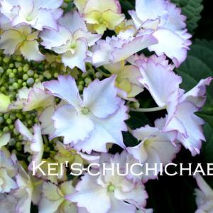新しい紫陽花と暑い日は冷やし中華!
