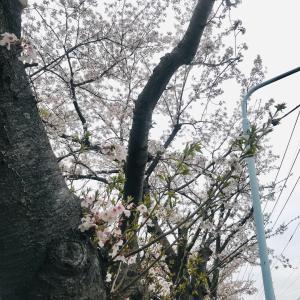 車の窓に桜の花びらが