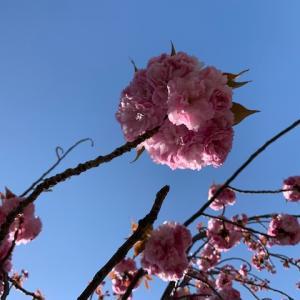 今年もソメイヨシノにつづき八重桜♪