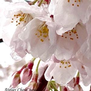 ☆桜の花びらから涙・・