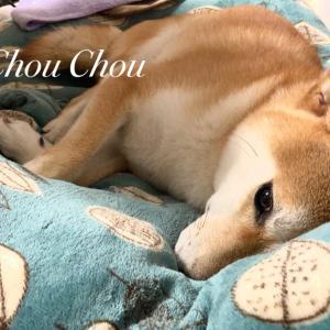 ⭐︎柴犬小次郎〜お休み〜
