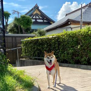 ☆柴犬小次郎と朝の散歩〜