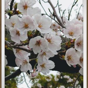桜満開の下、お花見の宴会