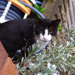 迷子猫の飼い主さんを探しています。