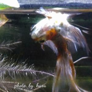 金魚のスネオが転覆病なんです