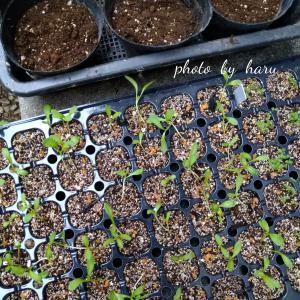 種っ子金盞花の移植と葉牡丹の今