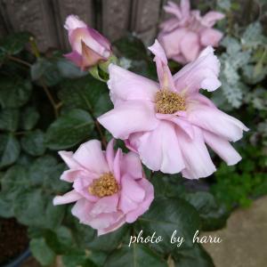 ハローエドランドと言う薔薇
