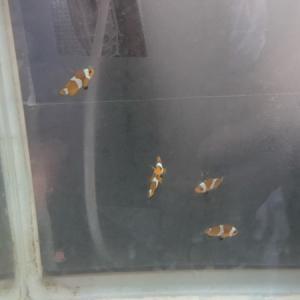 カクレクマノミ稚魚