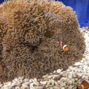 カクレクマノミ稚魚水槽