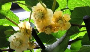 キウイフルーツの花が満開です。