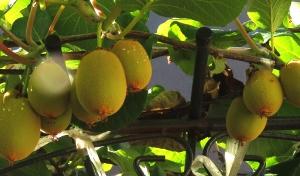 キウイフルーツの実がなりました。