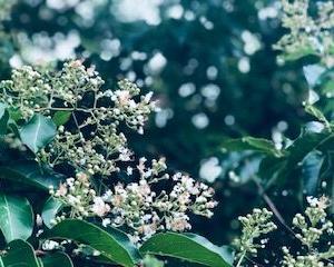 日本平キャンパスのさるすべり開花