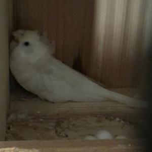 羽衣セキセイインコ抱卵