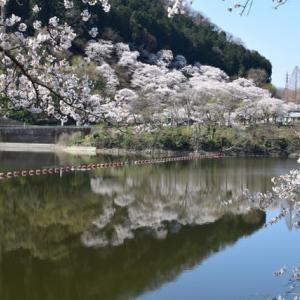 四季折々952  桜の津久井湖