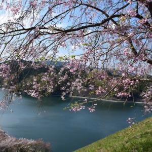 四季折々954  桜の城山湖