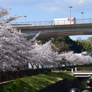 四季折々955  桜の兵衛川