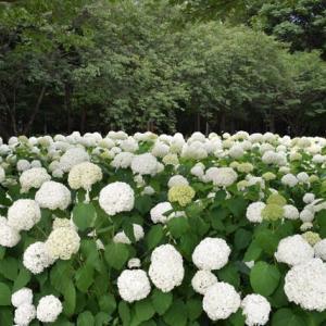 四季折々1005  紫陽花の相模原北公園