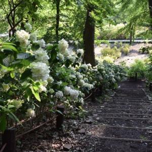 四季折々927  相模原北公園の紫陽花