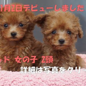 2020.11.2 トイプー2頭デビュー/ トイプードル子犬3頭見学できます。