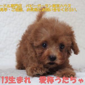 トイプードルの子犬をお探しの方/レッド2頭 見学できます/ご家族募集/東京都荒川区