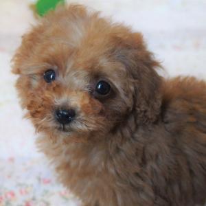 3連休の子犬見学/トイプードルレッド女の子2頭・専門ブリーダーの子犬