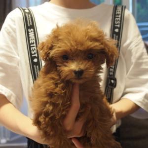 動画:トイプードル子犬の愛称うたちゃんのご紹介です。連休の見学のおしらせ。