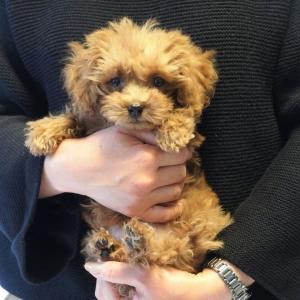 トイプードルの子犬をお迎えしたい・・・とお考えの方。お気軽にご相談ください。