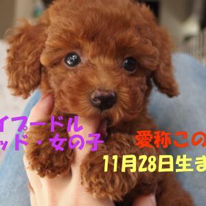 トイプードル子犬見学できます/11月28日生まれ・レッドの女の子2頭・姉妹です。