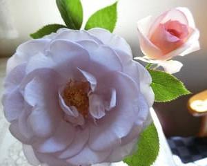 バラが咲き始めました、土、日曜販売中~♪