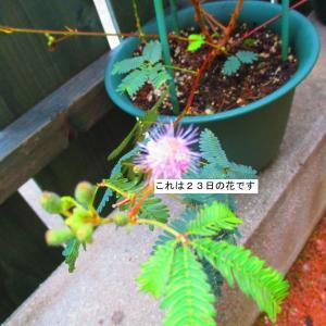 オジギソウは今日も咲く