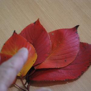 散歩道 サクラの落ち葉