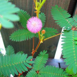 今朝のオジギソウは寂しい開花