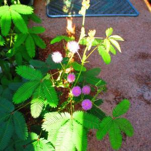 少し寂しいようなオジギソウの花