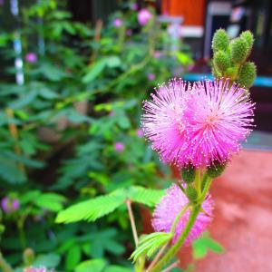 今朝のオジギソウの花は65輪デス♪
