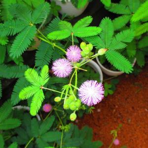 今朝のオジギソウの花は53輪デス♪